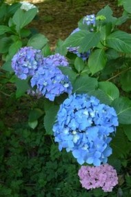 Purple, Blue, & Pink Common Hydrangeas--Photo by Kathryn V. White