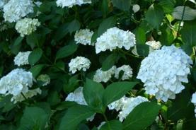 White Common Hydrangeas--Photo by Kathryn V. White