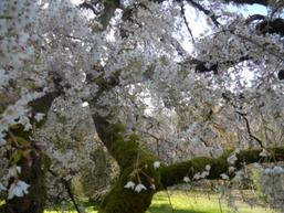 Cherry Blossom Tree at UW Arboretum Photo by Kathryn V. White